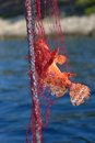 Red scorpionfish caught in red fishing net. Royalty Free Stock Photo