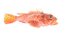 Red Scorpionfish seafood isolated on white Royalty Free Stock Photos
