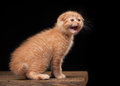 Red scottish fold kitten on table with wooden texture Royalty Free Stock Images