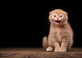 Red scottish fold kitten on table with wooden texture Stock Photography