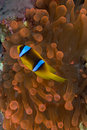 Red sea anemonefish (amphiprion bicinctus) Stock Photo