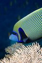 Red sea angelfish (Pomacanthus maculosus) Royalty Free Stock Images