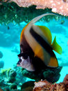 Red Sea Bannerfish Royalty Free Stock Photos