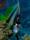 Red Sea Bannerfish - Heniochus intermedius Royalty Free Stock Image