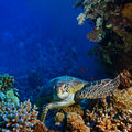 Red sea diving big sea turtle sitting between corals Stock Photography