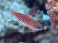 Red sea flasher wrasse fish Stock Photo