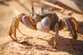 Red Sea ghost crab, Ocypode saratan Royalty Free Stock Photo