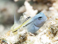 Red sea mimic blenny in egypt hurghada Royalty Free Stock Photography