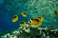 Red Sea Raccoon Butterflyfish Royalty Free Stock Photography