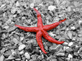 Red sea star Royalty Free Stock Photo