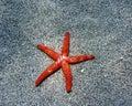 Red sea star Stock Photos