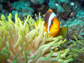 Red sea or two banded clownfish anemonefish amphiprion bicinctus with it s anemone host on a coral reef nemo egypt Royalty Free Stock Photos
