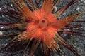 Red sea urchin astropyga radiata on the floor Royalty Free Stock Photo