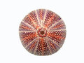 Red sea urchin shell  on white background Royalty Free Stock Photo