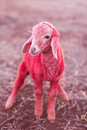 Red sheep in farm Stock Photo