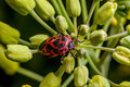 Red shield bug Royalty Free Stock Photo