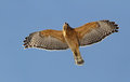 Red-shouldered Hawk Royalty Free Stock Image