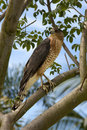 Red shouldered hawk buteo lineatus in a tree Royalty Free Stock Image