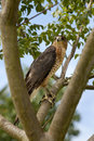 Red shouldered hawk buteo lineatus in a tree Stock Images