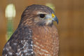 Red shouldered hawk a close up of a Royalty Free Stock Photography