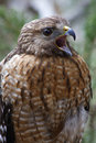 Red shouldered hawk closeup of a squawking Royalty Free Stock Images