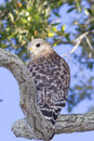 Red shouldered Hawk looking back Stock Photography
