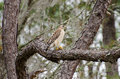 Red-shouldered Hawk In Okefeno...
