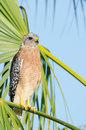 Red shouldered hawk perched on palm tree branch southwest florida Stock Photography