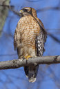 Red shouldered hawk perched on a tree branch in virginia Royalty Free Stock Photography