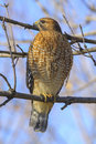 Red shouldered hawk perched on a tree branch in virginia Stock Photo