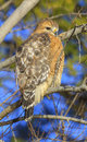 Red shouldered hawk perched on a tree branch in virginia Stock Photography