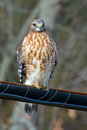 Red shouldered hawk perched on a wire Stock Images