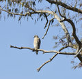 Red shouldered hawk perching on a tree Stock Image