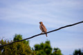 Red shouldered hawk a sitting on a wire looking for its next meal Royalty Free Stock Images