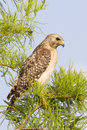 Red shouldered Hawk on a tree branch Stock Photo