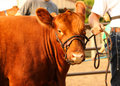 Red Show Heifer Royalty Free Stock Photo