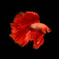 Red siamese fighting fish betta fish isolated on black Royalty Free Stock Photography