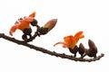 Red Silk Cotton Flower - Latin name is Bombax Ceiba Royalty Free Stock Photo
