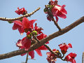 Red silk cotton tree bombax ceiba Royalty Free Stock Image