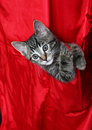 Red Silk Tabby Royalty Free Stock Images