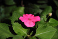 Red simply impatiens busy lizzie balsam Royalty Free Stock Photo
