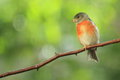 Red siskin Royalty Free Stock Photo