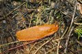 Red slug in the forest Royalty Free Stock Photo