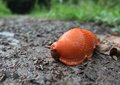 Red slug on the ground low angle shot showing a closeup Royalty Free Stock Image