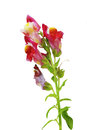 Red snapdragon flower antirrhinum majus isolated on white Stock Images