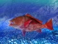 Red snapper Stock Photo
