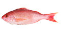 Stock Photography Red Snapper