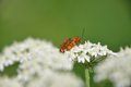 Red soldier beetle rhagonycha fulva mating on a white flower Royalty Free Stock Photography