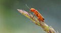 Red soldier bug beetle on the branch of wheat Royalty Free Stock Photo