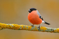 Red songbird Bullfinch sitting on yellow lichen branch, Sumava, Czech republic. Wildlife scene from nature. Bullfinch in forest. Royalty Free Stock Photo